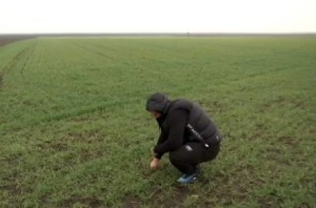 Kako je mraz uticao na pšenicu, imaju li ratari razloga za brigu