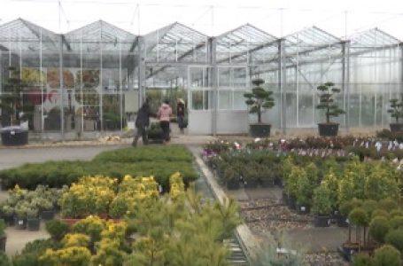 """Cvećare iz Lipolista nije zaustavila ni epidemija, na domaće tržište stigla i """"Monika Beluči"""""""