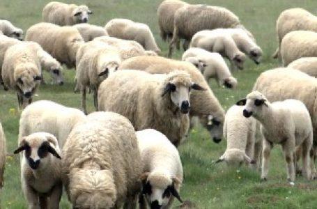 Niko ne kupuje peštersku jagnjad, farmeri traže pomoć države